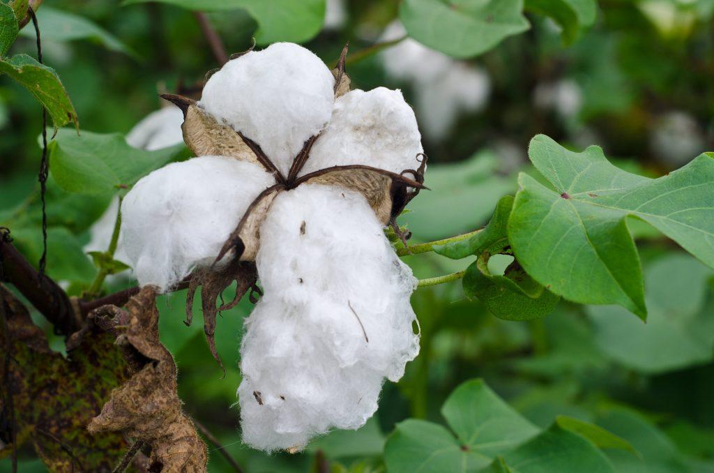Le coton bio fait partie des matières idéales pour la création d'un vetement bio